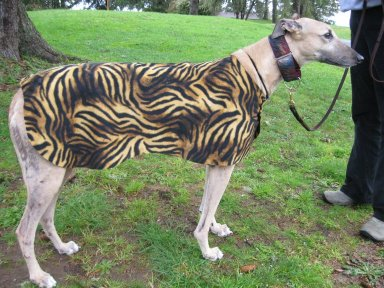 Tiger coat is  too small for Wells, but it does look good on a fawn dog!